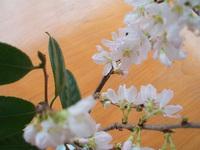 sakura-koeda